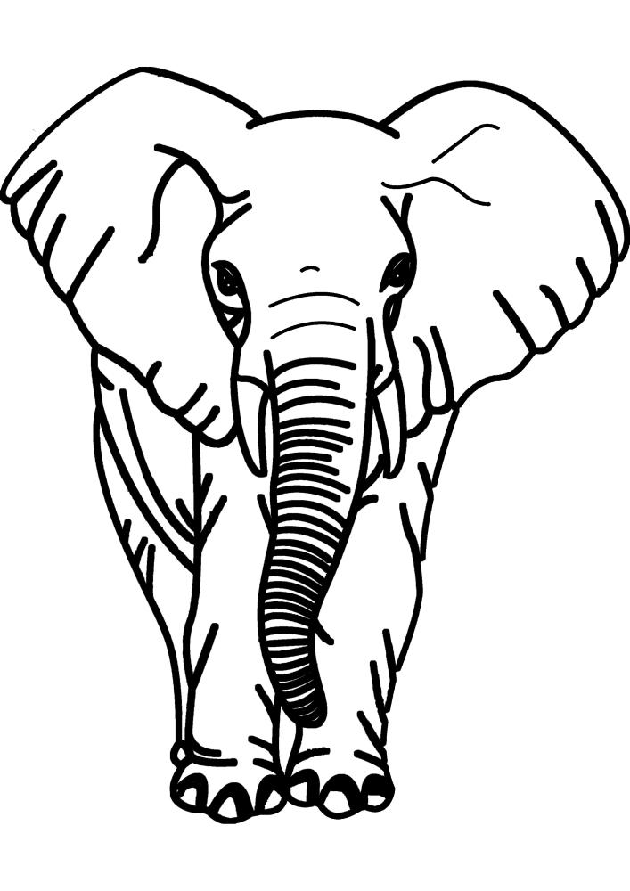 Слон - вид спереди